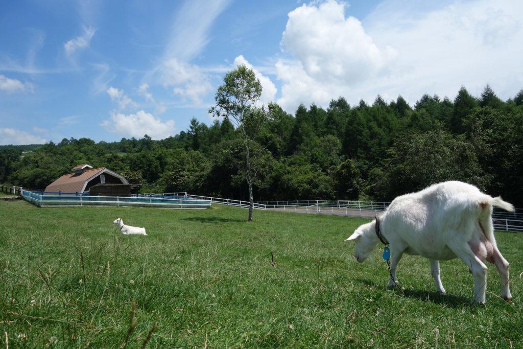 山梨県立まきば公園の白ヤギ