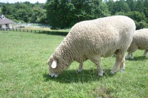 八ヶ岳まきば公園の羊が草を食べている様子