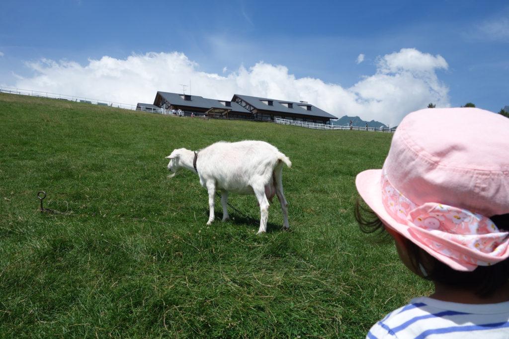 まきば公園の白ヤギを見ている子ども